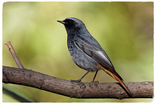 Cotxa fumada - Colirrojo tizón - Black redstart - Phoenicurus ochruros