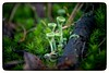 Chrobotek (Cladonia) (bialobrody) Tags: cladonia plant macro fungus fungi lichen nature