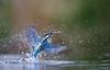 Kingfisher dive-1427 (Theo Locher) Tags: ijsvogel kingfisher eisvogel martinpecheur alcedoatthis birds vogels vogel oiseaux netherlands nederland copyrighttheolocher