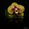 Orchid (Magda Banach) Tags: 80d canon blackbackground colors flora flower macro nature orchid plants reflection