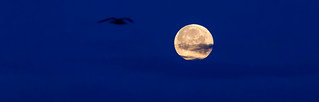 Silhouette of a bird in the sky and super moon