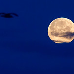 Silhouette of a bird in the sky and super moon thumbnail