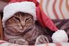 Navidad Gatuna (luenreta) Tags: navidad 50mm 7dwf juegolvm tunavidad