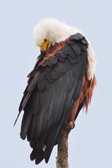 African fish eagle (cadviodi) Tags: africanseaeagle africanfisheagle african fish sea eagle pigargovocinglero pigargo vocinglero africa southafrica south sudafrica savannah savanna sabana bush isimangalisowetlandpark isimangaliso wetland park