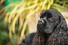 Liverpool (Patounes et Moustaches) Tags: chien dog cute black outdoor brown green patounesetmoustaches cocker blackdog paris nose paw pet animal exterieur