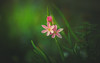 Hesperantha (Dhina A) Tags: schizostyliscoccinea crimsonflaglily kaffirlily sony a7rii ilce7rm2 a7r2 tamron sp 70200mm f28 di vc usd tamronsp70200mm zoom telephoto lens flower bokeh