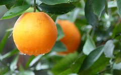 Navel oranges (alansurfin) Tags: navelorange naranjas citrus fruit fruta frutta oranges naranja arance florida orange rain backyard dooryard grove