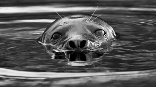 Harbour Seal (image 1 of 2)