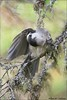 Gray Jay Feather Maintenance (Daniel Cadieux) Tags: jay grayjay preen preening lichen forest algonquinpark vertical wing feathers