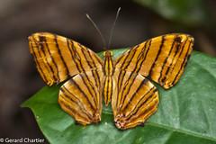 Chersonesia risa risa (Common Maplet) (GeeC) Tags: animalia arthropoda brushfootedbutterflies butterfliesmoths cambodia chersonesia chersonesiarisarisa commonmaplet cyrestinae insecta kohkongprovince lepidoptera nature nymphalidae papilionoidea tatai truebutterflies