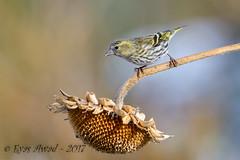 xxDSC_0036 (Eyas Awad) Tags: eyasawad nikond4 sigma500f45 nikond800 nikonafs300mmf4 bird birds birdwatching wildlife nature lucherino spinusspinus