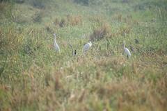 Egrets & Herons (jhureley1977) Tags: egrets herons ashjhureley avibase naturesvoice bbcspringwatch rspbbirders orientbirdclub sanctuaryasia ashutoshjhureley jabalpur jabalpurbirds