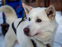 Sled dog (802701) Tags: 2016 201612 arctic arcticcircle december2016 europe kiruna polarnight sweden travel dog sleddog husky
