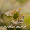 Kalanchoe thyrsiflora-2 (SUBENUIX) Tags: crassulaceae kalanchoethyrsiflora suculentas subenuix subenuixcom planta suculent suculenta botanic botanical