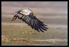 Beauty of The Nature (asifsherazi) Tags: egyptianvulture asifsherazi paragoncity lahore pakistan birdsofpakistan