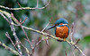 Kingfisher (Steve Balcombe) Tags: bird kingfisher alcedo atthis male orange blue halcyon bathpool taunton canal somerset uk