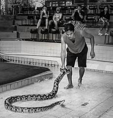 Python handler (FotoGrazio) Tags: animals bangkok documentaryphotography seasia thai thailand waynegrazio waynesgrazio animal blackandwhite dangerous entertainer fotograzio people photojournalism python reptile serpent show snake snakehandler snakeshow socialdocumentary tourism tourist wildanimal
