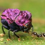Tiny Purple Beetle, Chlamisus or Fulcidax sp.? Chrysomelidae, Cryptocephalinae, Chlamisini thumbnail