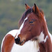 Chincoteague Pony, Chincoteague National Wildlife Refuge, Chincoteague, Virginia