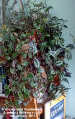 Tradescantias fluminensis & zebrina in living room 1st January 2018 (Davy1000) Tags: tradescantia fluminensis zebrina living room 1st january 2018