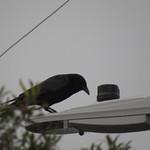 crow on a light 1 3 18 thumbnail