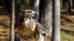 The Profile Of A Hunter (ChicaD58) Tags: redtailedhawk birdofprey rescuedandrehabilitated hawk callawaygardens autumn dscf2147c ngc