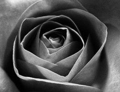 Close up pink rose. 🌹😀🌹 (LeanneHall3 :-)) Tags: blackandwhite rose rosepetal petals closeup closeupphotography hull kingstonuponhull flowerarebeautiful flowersarefabulous flowerflowerflower canon 1300d conversionlens
