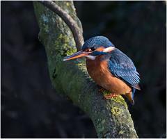 Kingfisher (Antony Ward) Tags: pocklingtoncanal kingfisher