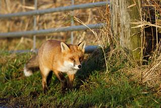 Fox (RSPB Greylake) #3 of 4