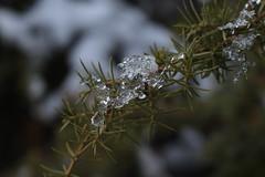 petite branche et ses glaçons (bulbocode909) Tags: valais suisse branches neige glace gel glaçons vert nature montagnes automne