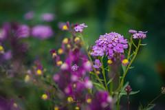 Backyard Collection (RDCreativeStudio) Tags: flowers summer australia melbourne nikon nikonaus mynikonlife flowerphotos