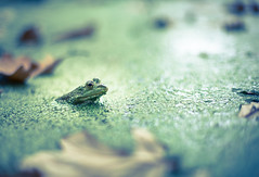 The Swamp (Philocycler) Tags: draintheswamp alabama electionnight frog green eye canon watching depthoffield bokeh depressing roymoore sarcasm moraldilemma