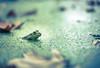 The Swamp (Philocycler) Tags: draintheswamp alabama electionnight frog green eye canon watching depthoffield bokeh depressing roymoore sarcasm moraldilemma