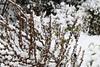 CKuchem-3422 (christine_kuchem) Tags: bauerngarten biogarten dost eis frost garten jahreszeit kräuter kälte majoran nahrung naturgarten pflanze samen samenstände sortenvielfalt vielfalt vogelfutterpflanze vögel wildpflanze winter winterfutter gefroren kalt naturnah natürlich reif schnee wichtig wild königskerze