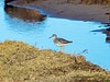 MID_0136 (mikedoylepics) Tags: animals british britishwildlife birds bird d500 redshank lincolnshire lincolnshirewildlifetrust donnanook