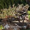 Opuntia elatior-7 (SUBENUIX) Tags: cactaceaeopuntias opuntiaelatior suculentas subenuix subenuixcom planta suculent suculenta botanic botanical