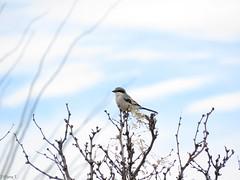 The Lookout (Tiffany T. Photography) Tags: loggerhead shrike lanius ludovicianus birds birding birdwatching nature wildlife animals new mexico