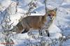 Red Fox. Vulpes vulpes . (rumerbob) Tags: redfox fox animal wildlife wildlifewatcher nature naturewatcher warminsterpark canon7dmarkii canon100400mmlens