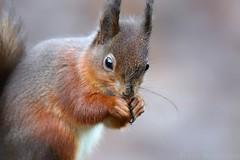 Red squirrel 6764(6D3) (wildlifetog) Tags: red southeast squirrel alverstone isleofwight uk mbiow martin blackmore britishisles britain british canon england european eos6d wild wildlifeeurope wildlife nature
