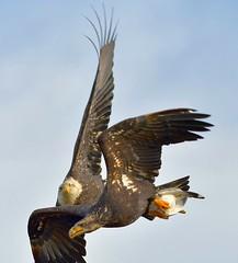 Bald Eagles - Tight Aerial Manoeuvres (kenyoung3) Tags: haliaeetusleucocephalus baldeagle birdsofprey birdsinflight competition foodfight prey boundarybaydeltabc