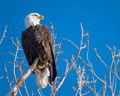 Bald Eagle (Becky Matsubara) Tags: baldeagle bird birds eagle raptor sacramentonationalwildliferefuge haliaeetusleucocephalus nature wildlife outdoors nwr nationalwildliferefuge baea