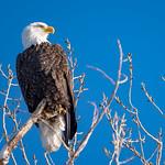Bald Eagle thumbnail