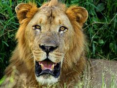 Meet Your Friendly Neighbourhood Lion (zimbart) Tags: mozambique africa gorongosanationalpark fauna vertebrata mammals carnivora felidae panthera pantheraleo