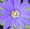 Centre of attention (MJ Harbey) Tags: flower anemone purple purpleanemone garden ranunculaceae anemoneae nikon d3300 nikond3300