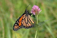Monarch Butterfly 484 - Danaus Plexippus (Chrisser) Tags: insects insect butterflies butterfly monarch danausplexippus nature ontario canada canoneosrebelt6i canonef75300mmf456iiiusmlens nymphalidae