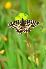 Zerynthia rumina (jotneb) Tags: natureza animais insectos vidaselvagem borboletas arlivre escaroupim