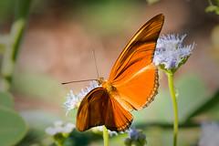 Julia heliconian (jim_mcculloch) Tags: dsc2482 butterflies lepidoptera