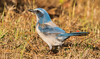 IMG_3880 Endangered Scrub Jay in Cape Coral, Florida (Wallace River) Tags: capecoral florida scrubjay