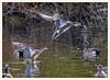 American Wigeons (gauchocat) Tags: sweetwaterwetlands tucsonarizona
