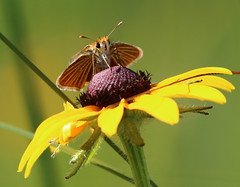 Poweshiek skipperling by Vince Cavalieri; USFWS (U.S. Fish and Wildlife Service - Midwest Region) Tags: prairie insect skipperling pollinator endangered endangeredspecies poweshiekskipperling wildlife animal butterfly summer seasons